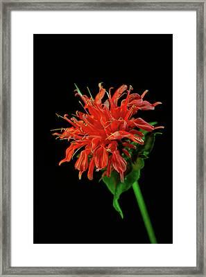 Monardia Blossom Framed Print by Douglas Barnett