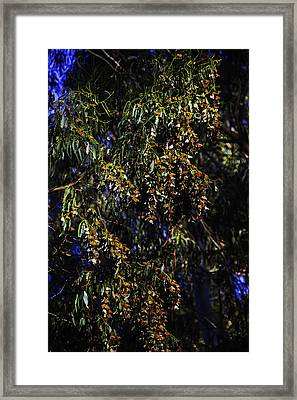 Moncarchs Resting Framed Print