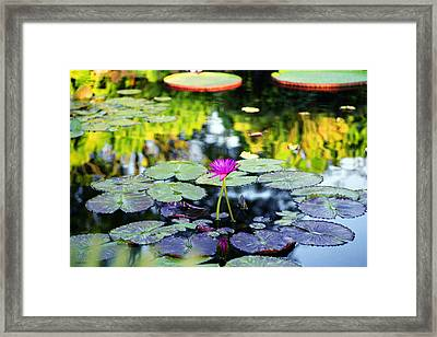 Monet Lilies Framed Print
