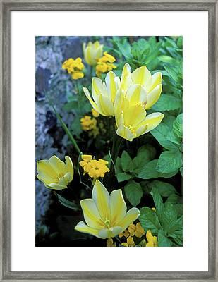 Monet's Fancy Tulips Framed Print by Kathy Yates