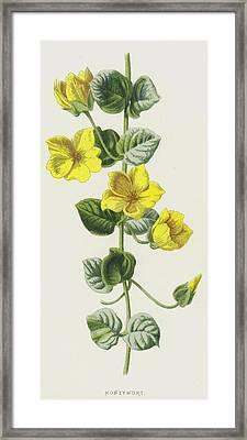 Moneywort  Framed Print by Frederick Edward Hulme