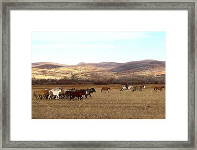Mongolian Horses And Rider Framed Print