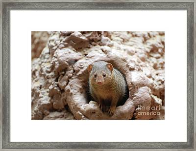 Mongoose Peaking Out Of A Burrow Framed Print