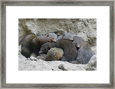 Mongooses Huddled Together For Warmth Framed Print