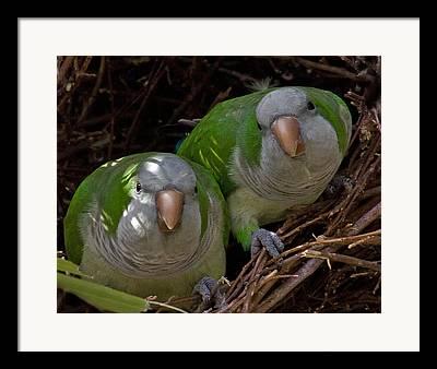 Quaker Parakeet Framed Prints