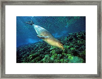 Monk Seal Dive Framed Print by Dave Fleetham - Printscapes