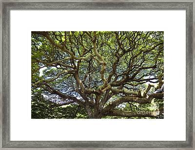 Monkey Pod Branches Framed Print by Charmian Vistaunet