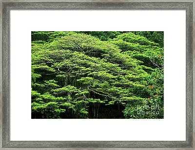 Monkey Pod Tree Greenery Framed Print by Charmian Vistaunet