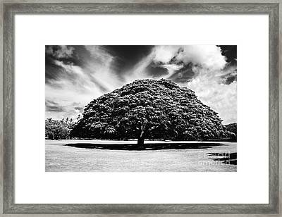 Monkey Pod Tree In Black And White Framed Print by Charmian Vistaunet