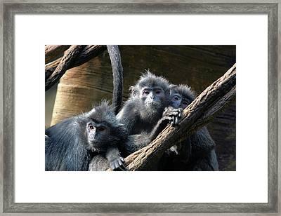 Monkey Trio Framed Print by Karol Livote