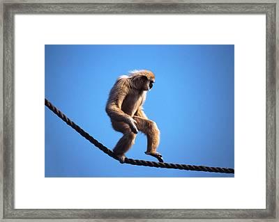 Monkey Walking On Rope Framed Print by John Foxx