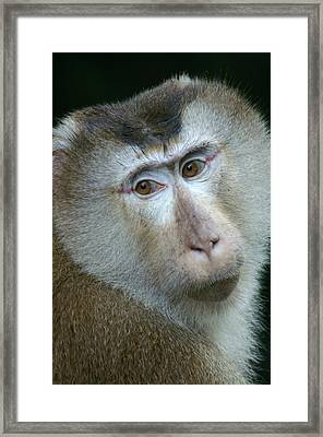 Monkey With A Heart Shaped Face Framed Print by Jessica Rose