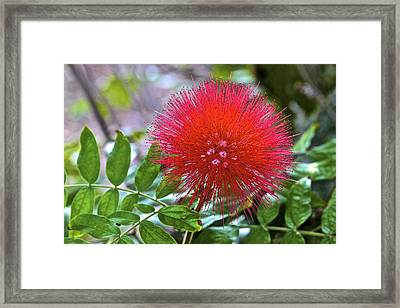 Monkeypod Flower Framed Print by Jon Reddin