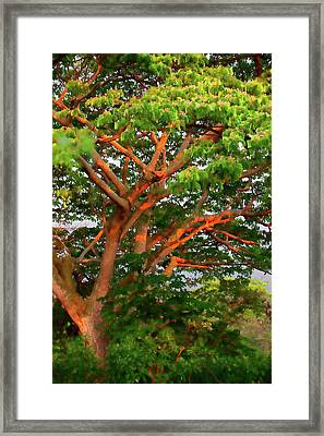 Monkeypod Glow Framed Print by Sheila Latta