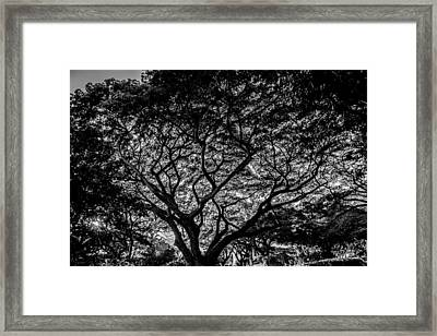 Monkeypod Lace Framed Print by Sharin Gabl