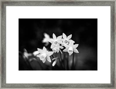 Monochrome Daffodils Framed Print by Shelby Young