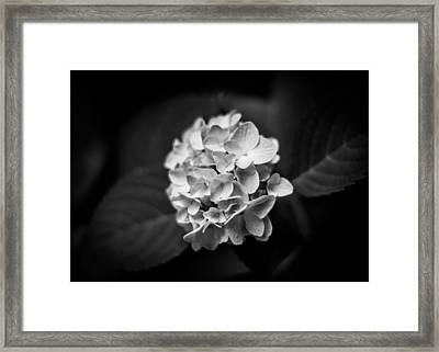 Monochrome Hydrangea Framed Print by Shelby Young