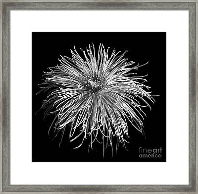 Framed Print featuring the photograph Monochrome Of Chrysanthemum 'pink Splendor' by Ann Jacobson