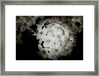 Monochrome Wild Plum Blooms 5536.01 Framed Print