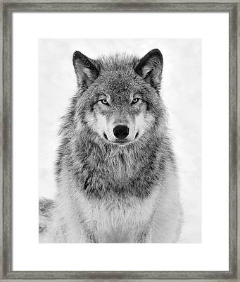 Monotone Timber Wolf  Framed Print
