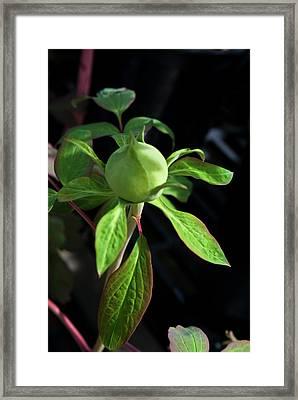 Monstrous Plant Bud Framed Print by Douglas Barnett