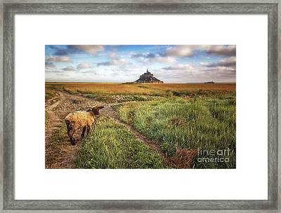 Mont Saint Michel's Sheep Framed Print