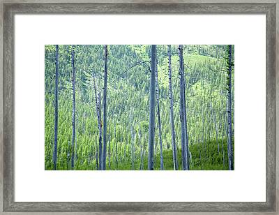 Montana Trees Framed Print