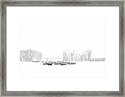 Montana Winter's Cattle  Framed Print