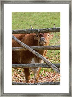 Moo Framed Print by Bill Wakeley