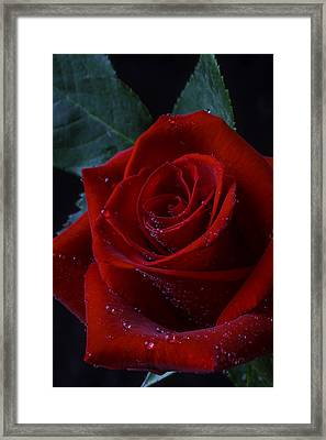 Moody Red Rose Framed Print