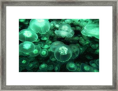 Moon Jelly Aurelia Aurita Group Framed Print