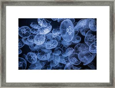 Moon Jellyfish In False Color At The Cabrillo Marine Aquarium Framed Print by Randall Nyhof