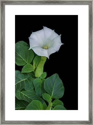 Moonflower Framed Print by Nikolyn McDonald