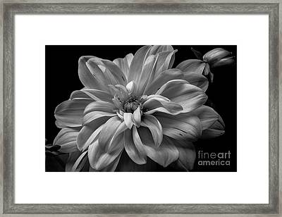 Framed Print featuring the photograph Moonlit Dahlia by Chris Scroggins
