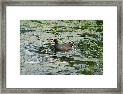 Moor Swimming Framed Print by Lynda Dawson-Youngclaus