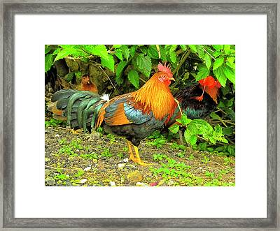 Framed Print featuring the photograph Moorea Chicken by Bill Barber