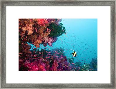 Moorish Idol (zanclus Cornutus) Swimming Among Multicolored Corals Framed Print