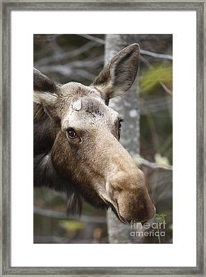 Moose - White Mountains New Hampshire Usa Framed Print by Erin Paul Donovan