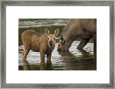 Moose Alces Americanus Mother And Calf Framed Print