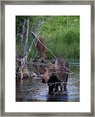 Moose And Baby Tetons Framed Print by Vijay Sharon Govender