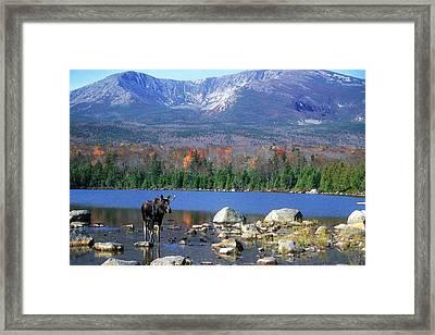 Moose And Mount Katahdin Framed Print