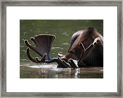 Moose Antlers Framed Print