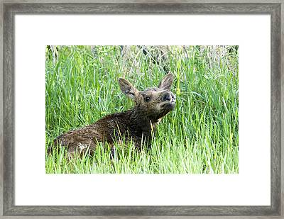 Moose Baby Framed Print