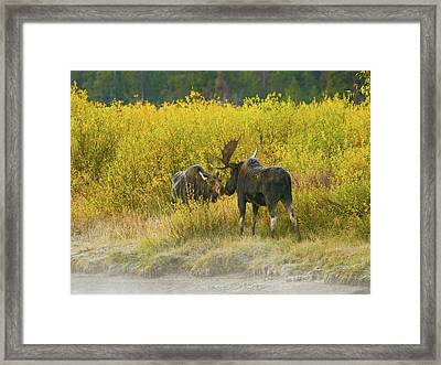 Moose Couple Framed Print