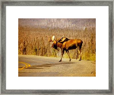Framed Print featuring the photograph Moose Crossing by Adam Owen