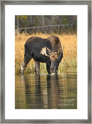 Moose Drinking Reflections Framed Print