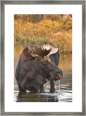 Moose Drool In The Wetlands Framed Print