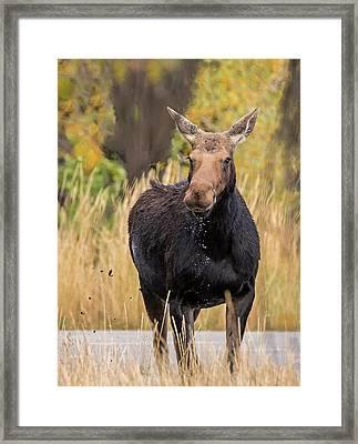 Moose Drool Framed Print by Loree Johnson