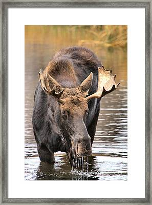Moose Drool Shower Framed Print by Adam Jewell