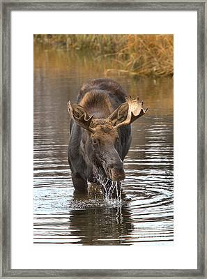 Moose Drools And Drips Framed Print by Adam Jewell